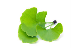 Ginkgo leaf isolated stock image