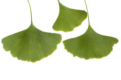 Ginkgo leaf. Isolated on white Stock Images