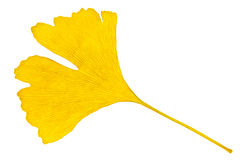 Ginkgo leaf Royalty Free Stock Photos