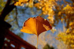 Ginkgo. A ginkgo leaf in a park Royalty Free Stock Photo