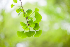 Ginkgo leaf Royalty Free Stock Image
