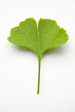 Ginkgo leaf. With water drops on a white background Stock Photography