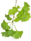 Ginkgo leaf. On a white background Stock Photo