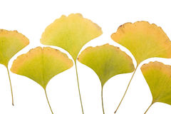 Ginkgo leafs Stock Photo