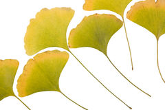 Ginkgo leafs Stock Images