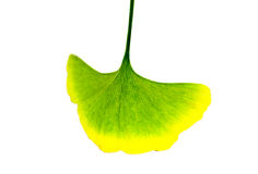 Ginkgo leaves Royalty Free Stock Images