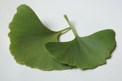 Ginkgo leaves. Ginkgo Biloba leaves on white background Royalty Free Stock Photo