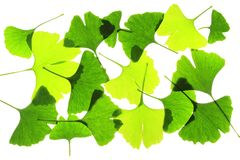 Ginkgo leaves Stock Photography
