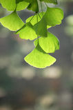 Ginkgo leaves Stock Images