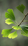 Ginkgo leaves Royalty Free Stock Photos