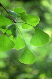 Ginkgo leaves Stock Photo