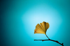 Ginkgo Leaves Abstract with Blue Background. And Yellow Leaves Stock Photography