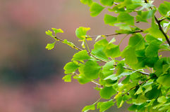 Ginkgo LEaves Against Autumn Backdrop. Green foliage from a Ginkgo branch contrasts against an Autumn (Fall) red Stock Photo