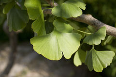 Ginkgo Royalty Free Stock Image