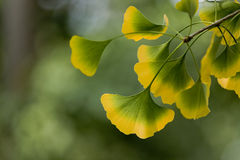 Ginkgo leaves in autumn Royalty Free Stock Images