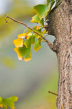 Ginkgo leaves in autumn Stock Image