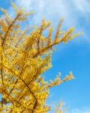 Ginkgo Leaves in Autumn at Mt. Koya in wakayama Royalty Free Stock Photography