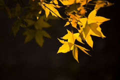 Ginkgo leaves in the Autumn Royalty Free Stock Images
