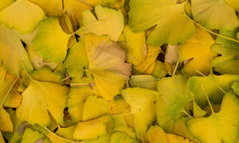 Ginkgo Leaves Royalty Free Stock Image