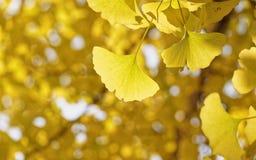 Ginkgo leaves. Ginkgo biloba in autumn royalty free stock photos