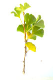 GINKGO BRANCH  Stock Photo