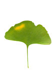 GINKGO LEAVES. Ginkgo biloba leaves isolated on white background Royalty Free Stock Photos
