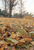 Ginkgo leaves change color Royalty Free Stock Photo