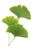 Ginkgo leaves with clipping path Stock Photos