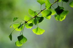 Ginkgo leaves. Close up of green ginkgo leaves in spring royalty free stock images