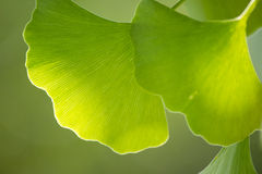 Ginkgo leaves close-up Royalty Free Stock Photography