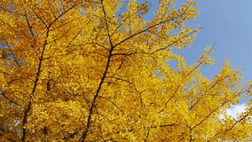 Ginkgo Leaves stock video footage