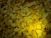 Ginkgo leaves Stock Image
