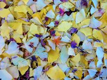 Ginkgo leaves covered the ground. In the fall in Japan Stock Photo
