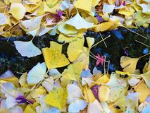 Ginkgo leaves covered the ground. In the fall in Japan Royalty Free Stock Photography
