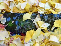 Ginkgo leaves covered the ground. In the fall in Japan Royalty Free Stock Image