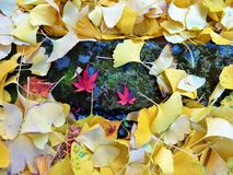 Ginkgo leaves covered the ground. In the fall in Japan Royalty Free Stock Photo