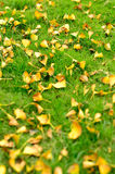 Ginkgo Leaves Falling on Grass Stock Photography