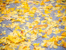 Ginkgo leaves on the floor Royalty Free Stock Photo
