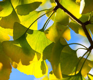 Ginkgo leaves in the forest Stock Image