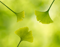 Ginkgo leaves in a forest Stock Photos