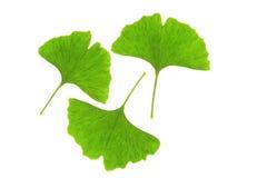 Ginkgo leaves (Ginkgo biloba) Stock Image