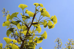 Ginkgo Leaves royalty free stock photography