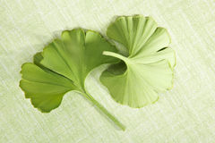 Ginkgo leaves on green background. Stock Image