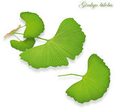 Ginkgo leaves,  Stock Photos