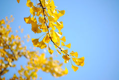 Ginkgo leaves. Outside Diaoyutai on November 10, 2013 in Beijing, China Stock Photography