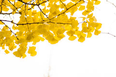Ginkgo leaves in spectacular autumn color Stock Photo