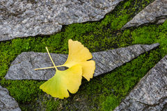 Ginkgo leaves on stone and moss Royalty Free Stock Image