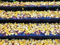 Ginkgo leaves on the stone steps stock photos