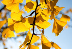 Ginkgo leaves in the sunlight Stock Image