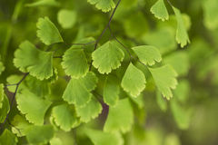 Ginkgo leaves. The sunshine of ginkgo leaves, as if transparent, soft glow of green light Stock Images